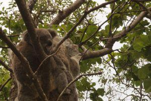 Die Insel der Koalas