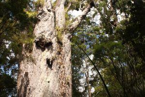 Kauri Coast: Alt wie ein Baum
