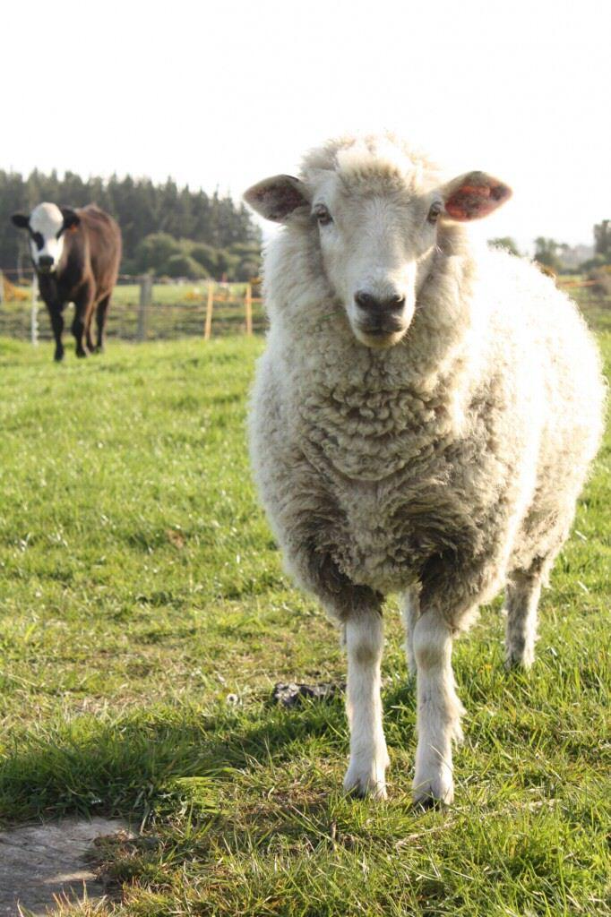 Dieses Schaf möchte später mal so werden wie sein Idol Shrek