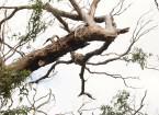 Koala am Cape Otway
