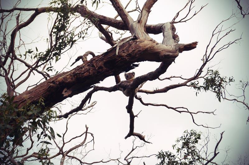 Koala am Cape Otway in Australien hängt in den Eukalyptusbäumen