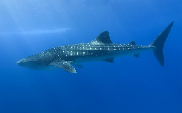 Whaleshark - Walhai