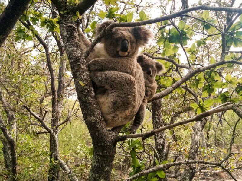 Koala mit ihrem Koala Baby an der Ostküste Australien