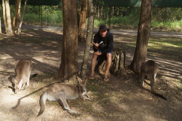 Mit Kängurus abhängen im Australia Zoo.