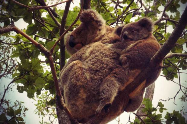Koalas typisch Australien