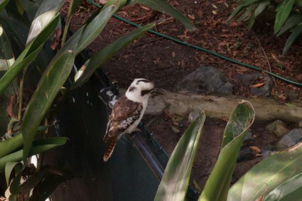 Kookaburra typisch Australien