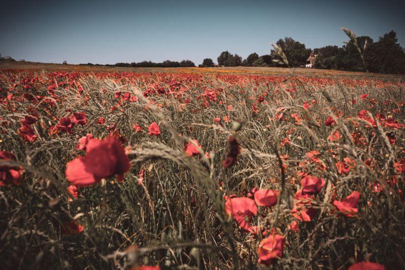 Poppy flower field in Ahrenshoop