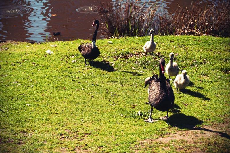 schwarze Schwäne am Yarra River in Melbourne