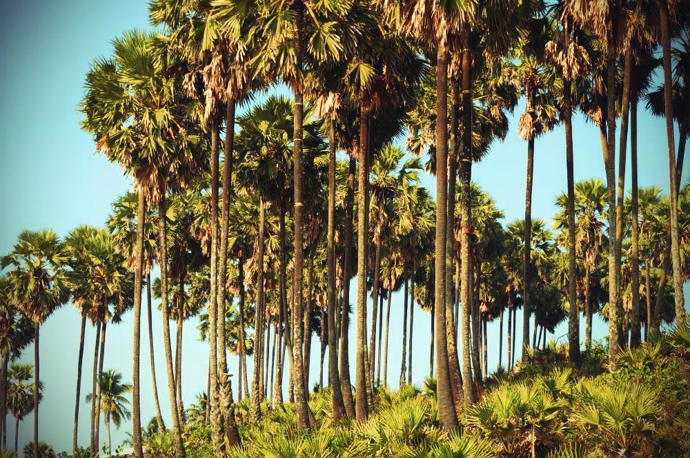 Palmenkletterer am Ngwe Saung Beach