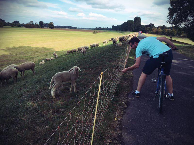 Schafsweide am Rheinufer in Düsseldorf
