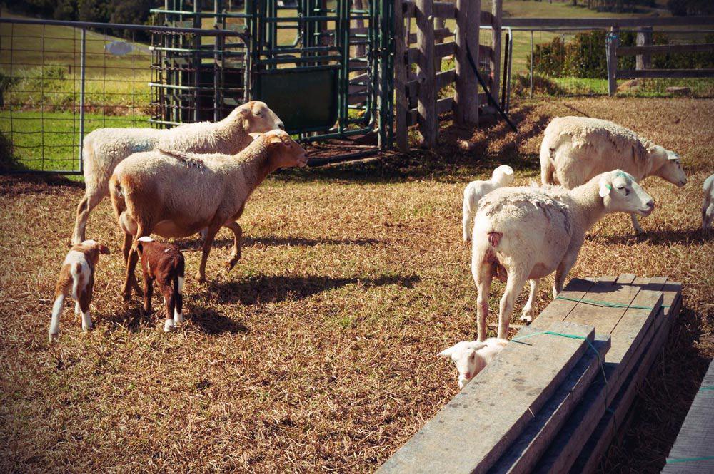 Schafe bei Narooma Küste im Südosten von New South Wales in Australien