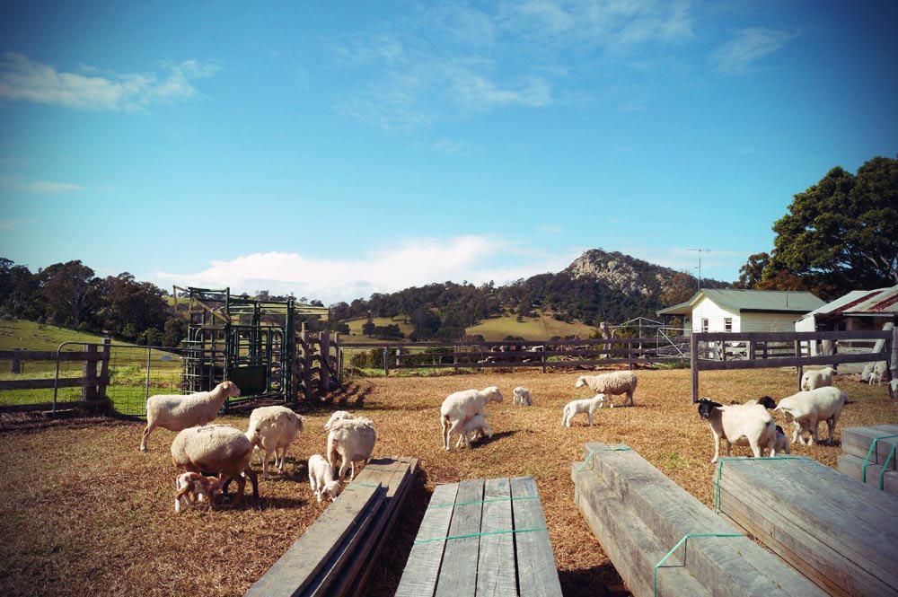 Schafsfarm bei Narooma in Küste im Südosten von New South Wales in Australien