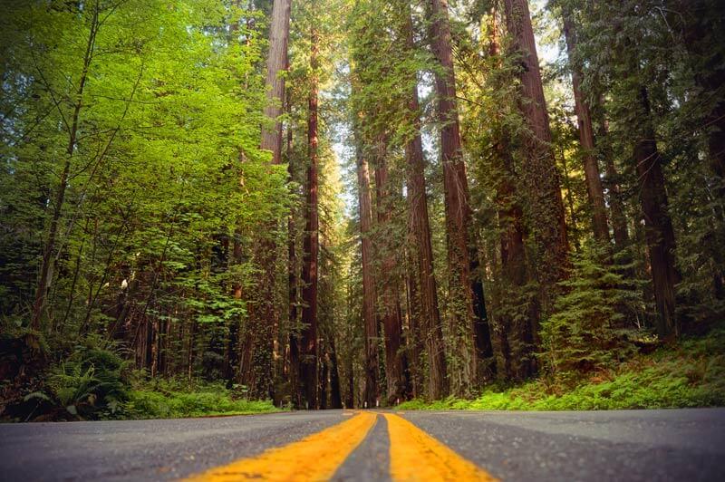 Redwoods Avenue of Giants
