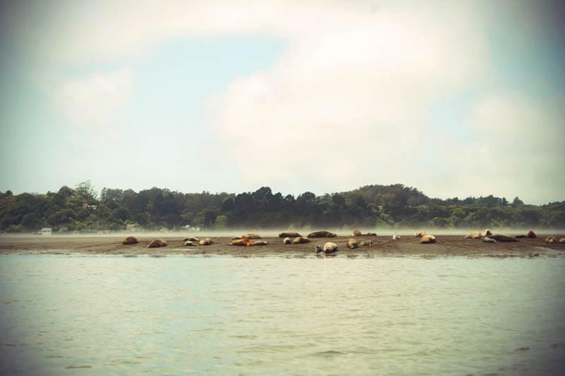 Roadtrip Kalifornien Seelöwen in der Bolinas Lagune