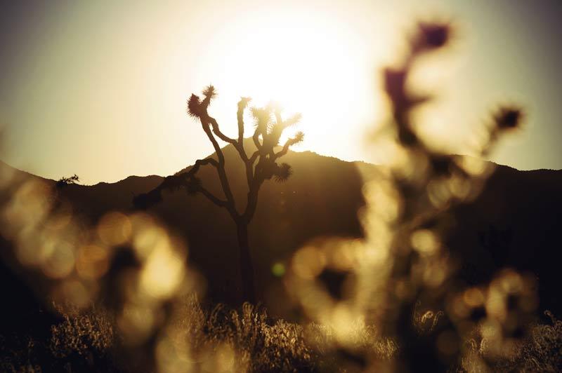 Joshua Tree bei Sonnenuntergang