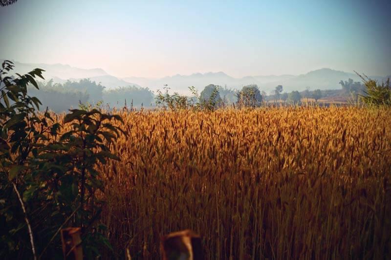 Ein golden schimmerndes Weizenfeld in der Berglandschaft um Kalaw (Myanmar)