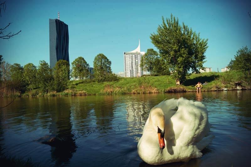 Badebucht mit Schwan auf der Donauinsel