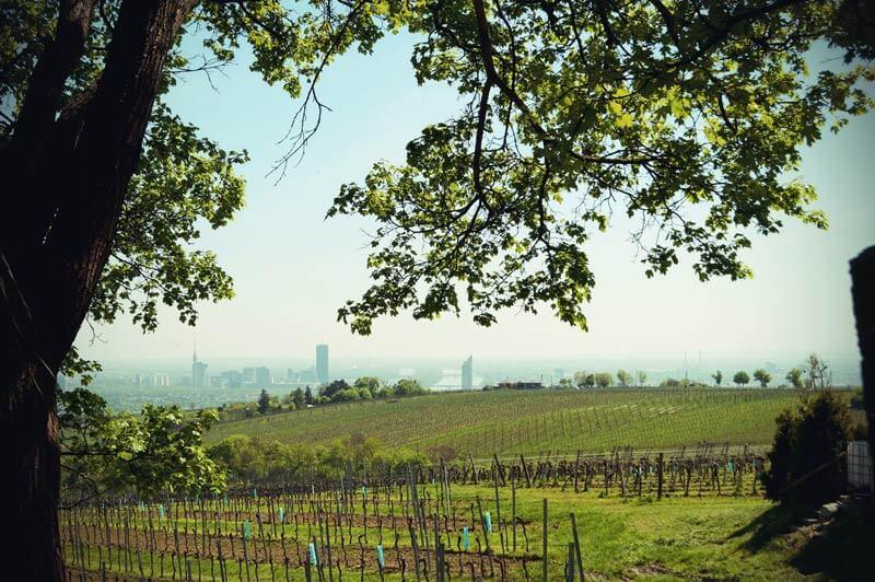 Blick über Wiener Weinfelder auf dem Weg zum Kahlenberg