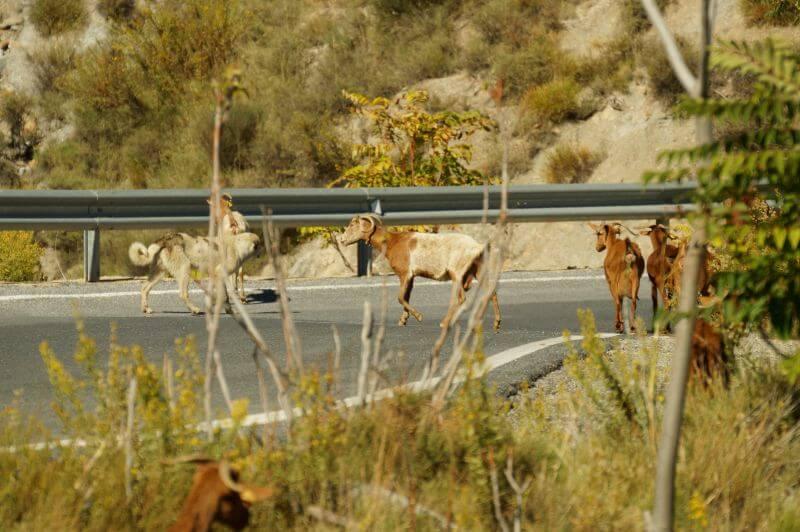 Andalusien Roadtrip - Ziegen auf der Landstrasse
