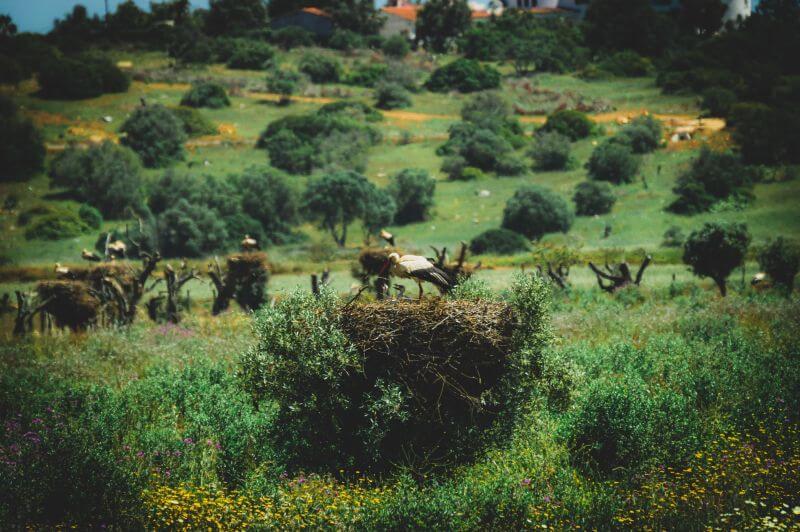 Viele Nester mit Störchen in Ninhos des Cegonhas bei Aveiro