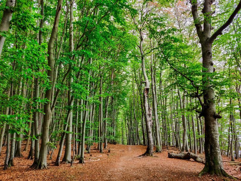 Hochuferweg durch den Buchenwald im Jasmund Nationalpark