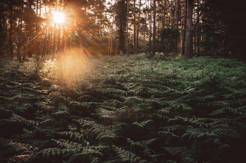 Darßer Wald am Morgen