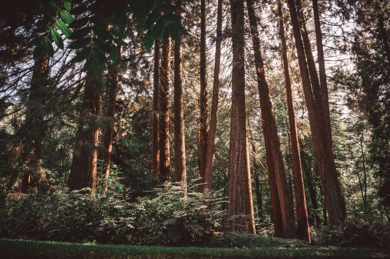 Sequioabäume in der Sequoiafarm Kaldenkirchen