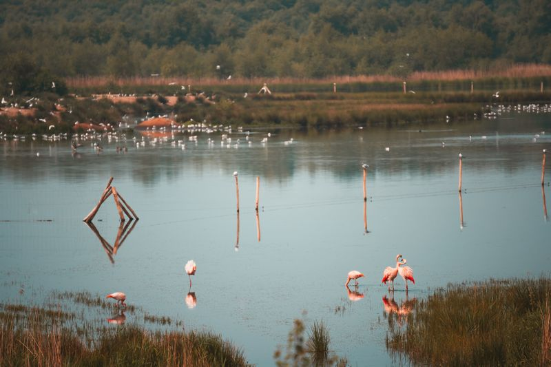 Flamingos am Zwillbrocker Venn