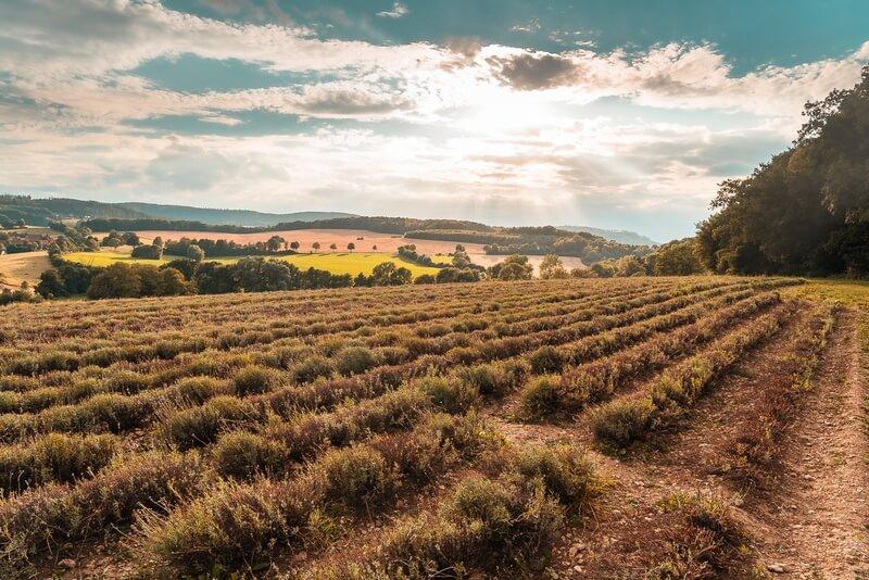 Lavendelfeld Frommhausen